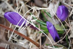 3 purple crocii